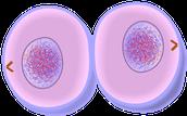 MItosis & Cytokinesis