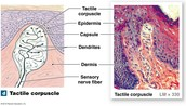 Tactile corpuscle
