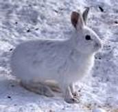 Snowshoe hare-Lepus americanus