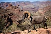 This is picture of a mountain goat.