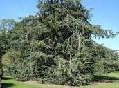 Cedar and Cypress