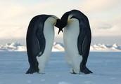Papas pinguino