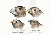Darwin's Finches