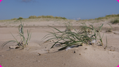 Sand couch grass