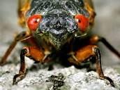 Cicada's