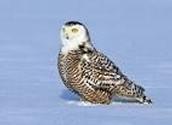 snowy owl pose