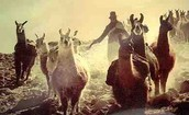 Inca Herding