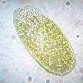 Microscope vison of a paramecium
