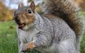 Chuck the squirrel