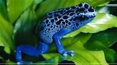 A blue poison dart frog