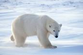 Polar Bear in the Tundra biome