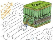 How does CO,2 enter the leaf?