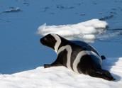 Fully Grown Ribbon Seal