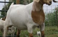 boer goat (Capra aegagrus hircus)