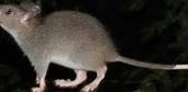 Giant White-Tailed Rat ( Uromys Caudimaculatus )