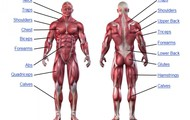 The Effects on the Muscles and Tendons