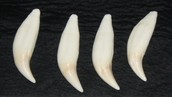 Ancient Grizzly Bear Teeth