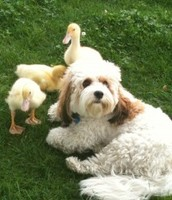 Dog with ducklings