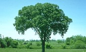 This is the american elm North Dakotas state tree.