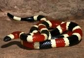 Arizona coral snake (Micruroides Euryxanthus)