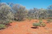 Mulga shrubland