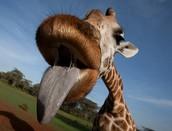 The Giraffe's Blue Tongue