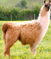 Tampuli Llama