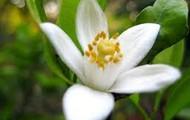 oreng  blossum