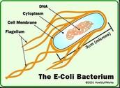 The E-Coli