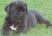 Select your ideal buddy! Cane Corso Puppies for Sale