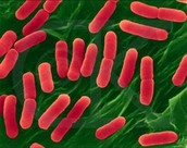 Imagen de bacterias Bacilios.