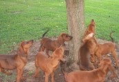 Redbone Coonhounds: Appearance, Care, and Everything Else