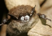 Little Brown Bat with White Nose Syndrome
