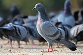 The Common Pigeon, also known as Columba Livia, also known as, Non-indigenous Pigeonous