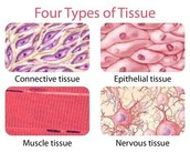 What are Tissues?
