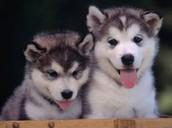 2 husky dog