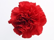 Red Carnation (single with tissue paper & greenery)