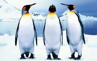 Emper penguins