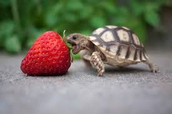 This a picture of a turtle trying to eat a strawberry