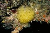 Calareous sponge (soleniscus radovani)