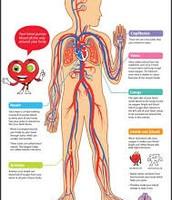 Circulatory , function , and diseases