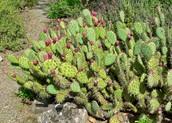 Semaphore Prickly-Pear Cactus