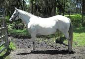 Shadow- 7yro Quarter Horse mare