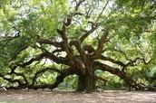 african-oak