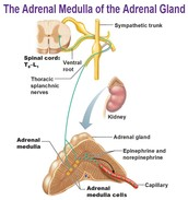 WHAT IS THE ADRENAL MEDULLA ALL ABOUT?