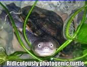 derpy turtle!