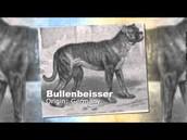 A bullenbeisser