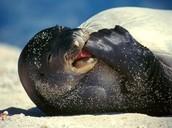 Hawian Munk Seal