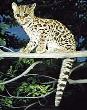 Feline/Mammal Family