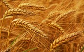 WHAT FOODS ARE IN THE GRAINS GROUP